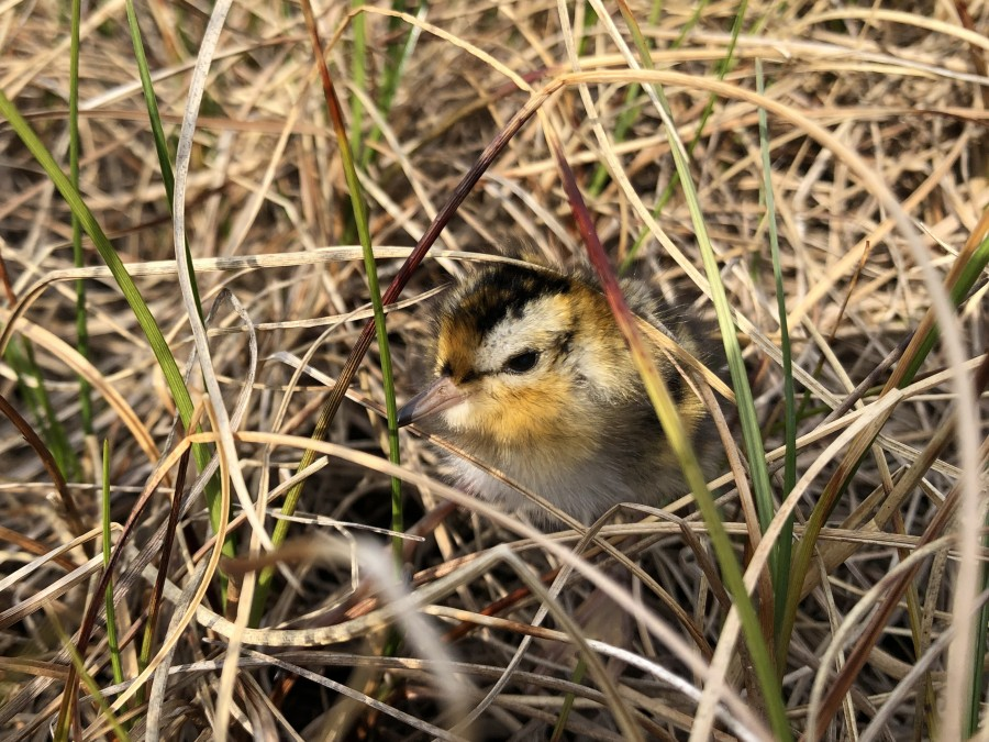 A baby Red Phalarope hiding in the sedge.