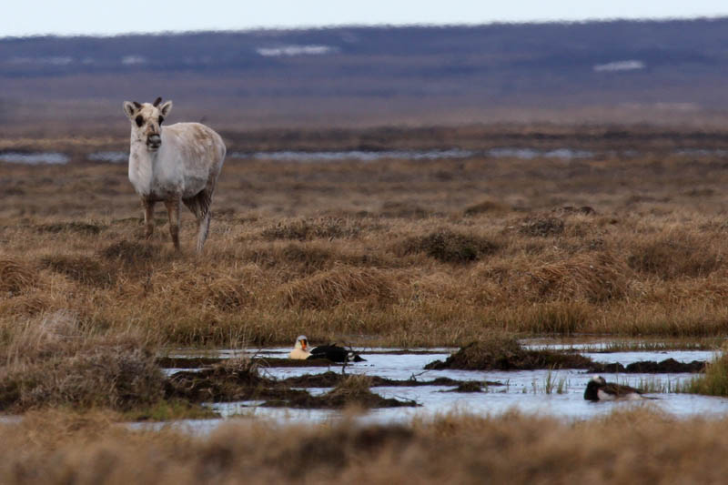 A curious Caribou stares down at a King Eider and a Long-tailed Duck in a small pond near camp