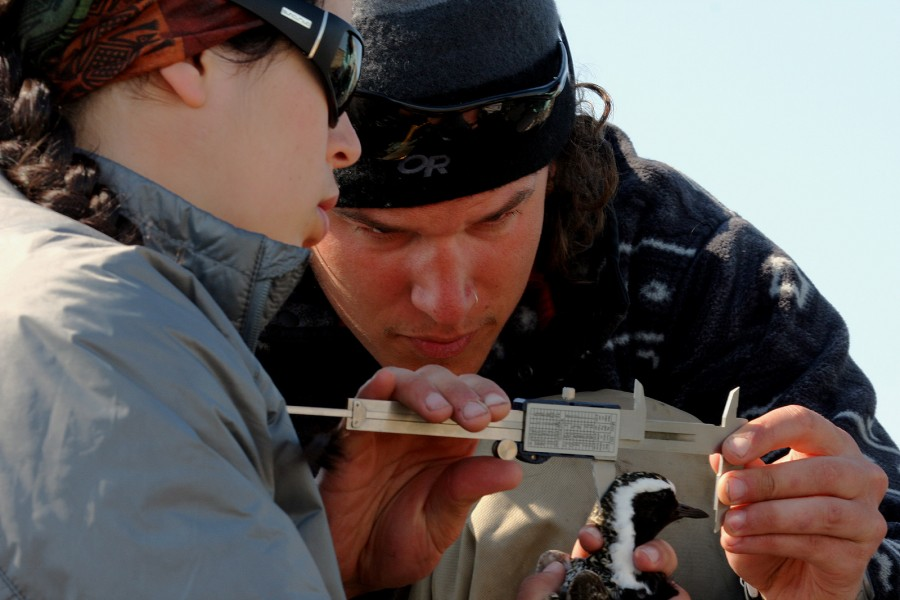 Scott Flemming and Sarah Neima measure an American Golden Plover.  Photo by Shiloh Schulte