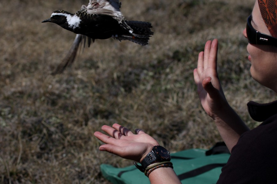 Sarah Neima releases a banded American Golden Plover. Photo by Shiloh Schulte