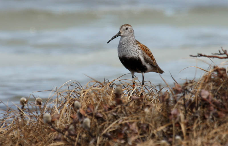 A Dunlin we color-banded in 2014 is back on territory.