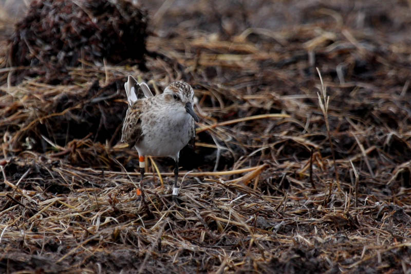 This Semipalmated Sandpiper is back on territory and displaying for a female. This bird tagged with a geolocator in 2013 and last year we learned that it migrated non-stop from James Bay in Canada to the north coast of South America.