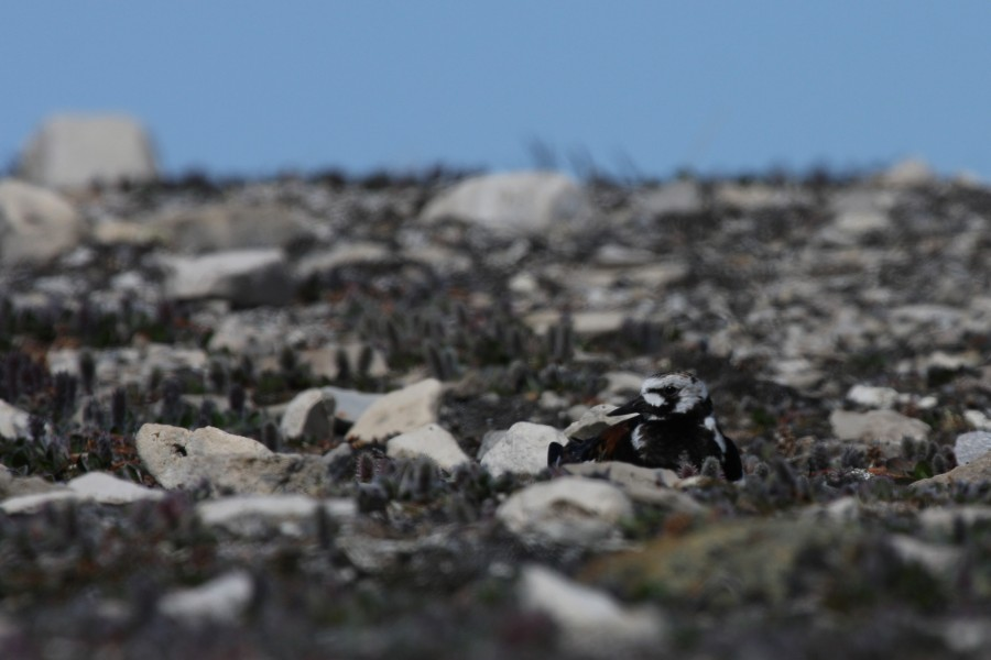 The black and white facial pattern of a Ruddy Turnstone is striking when seen on an open beach, but on the nesting grounds they camouflage perfectly with rocks and coastal vegetation.  Photo by Shiloh Schulte
