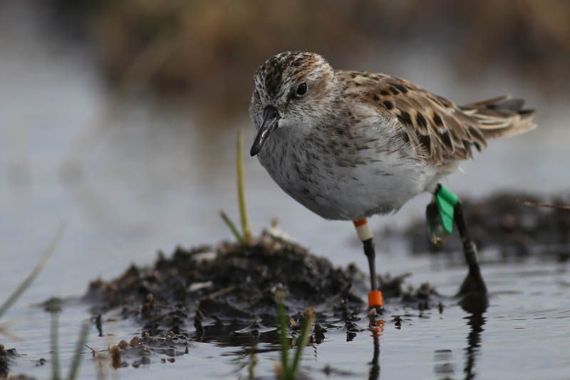 A geolocator-tagged Semipalmated Sandpiper searches for prey in a tundra wetland – photo by Brad Winn