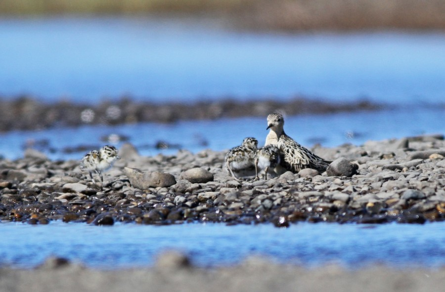 Shorebirds have a very short window to raise their young during the brief arctic summer, like this Buff-breasted Sandpiper keeping track of its chicks.  Photo by Ian Davies.