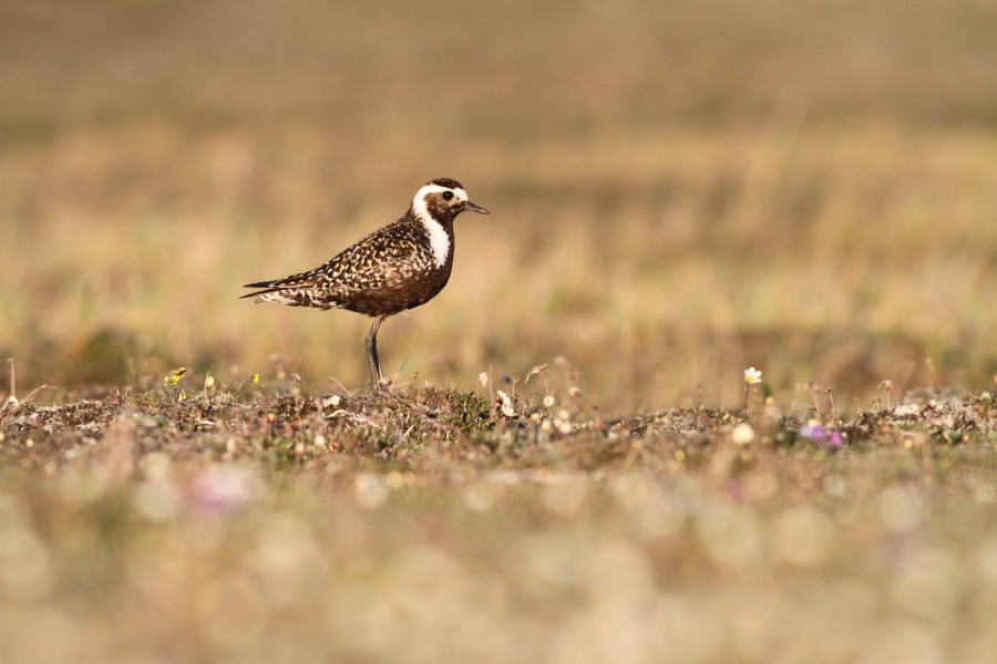 Our data on migrator paths for species like this American Golden-Plover will help so identify critical sites they use to prepare for southbound migration.  Photo by Ian Davies.