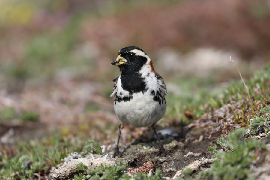 A male Lapland Longspur with a load of food for hungry babies
