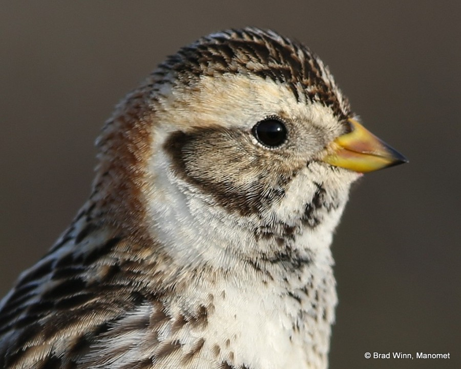 The musical song and flight display of the male Lapland Longspur is one of the most familiar sightings on the tundra, but the female (shown here) is not often seen unless flushed from a nest. Photo by Brad Winn.