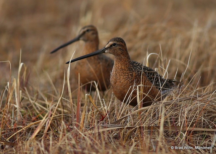 These Long-billed Dowitchers will soon be on eggs, their ornate plumage blending with grass to make them almost completely invisible to predators.  This pair could have spent the winter in the coastal lagoons of Texas or Louisiana.