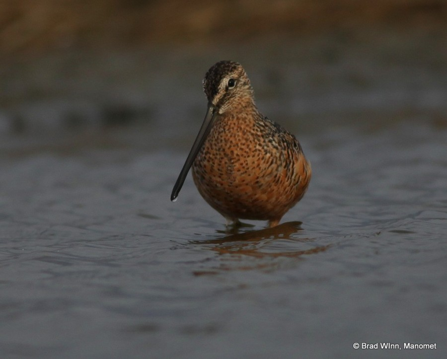 We found the Long-billed Dowitchers in good numbers along the coast, sometimes in flocks of more than one-hundred, most-likely migrating to points north like the Arctic National Wildlife Refuge.
