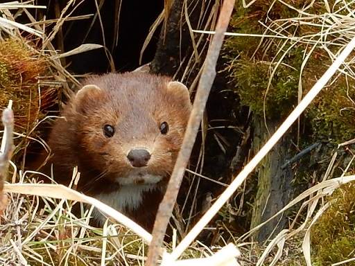 Bob saw this very cute mink while standing near its home during one of his surveys. Photo by Bob Gill.