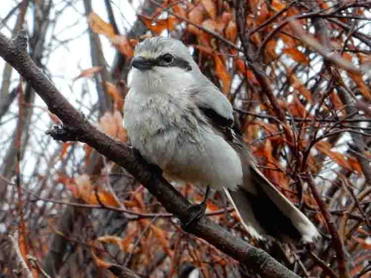 Bob captured this amazing photo of a Northern Shrike just north of St. Mary's while exploring along the road to the airport.