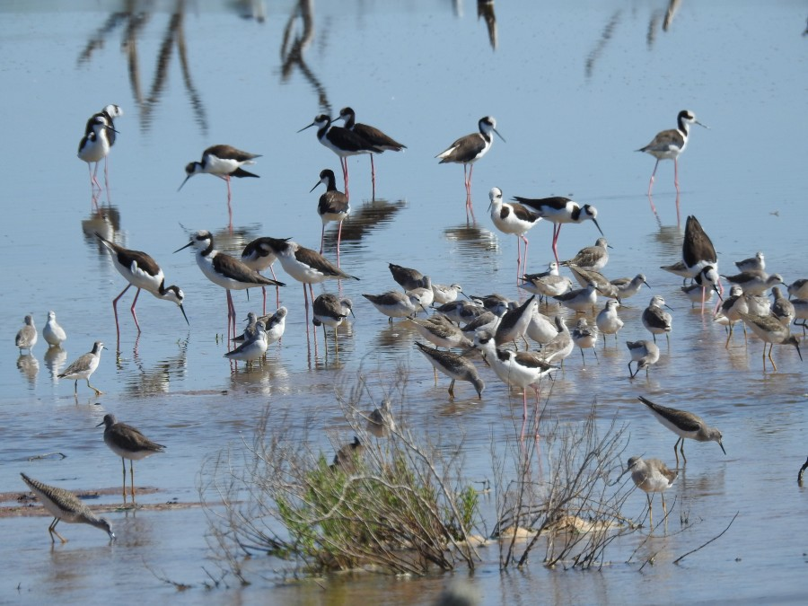 Wilson's Phalaropes with Lesser Yellowlegs and White-backed Stilts. ©A. Lesterhuis.
