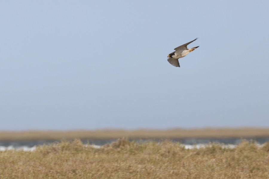 A Peregrine Falcon uses speed and stealth to hunt shorebirds and waterfowl over open tundra.