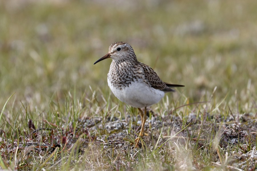 Female Pectoral Sandpipers are responsible for all of the incubation and chick-rearing duties and are quite protective of their offspring.