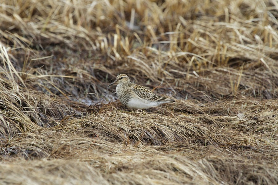 While it is still unclear whether Pectoral Sandpipers actually breed within the refuge or are just displaying on their way farther north, everyone on the central crew encountered a number of pairs and displaying males throughout our survey period.