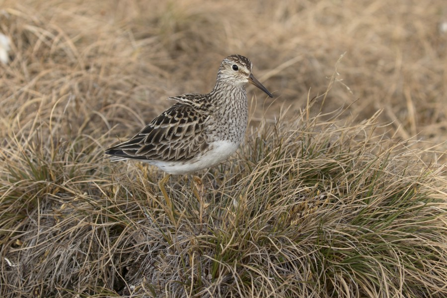 This female Pectoral Sandpiper is taking a break from incubation, and has a nest nearby.  You would never find the nest unless the bird shows you where it is when it returns to start incubating again, so sometimes we miss birds on our survey, and have to estimate how many we didn't ever see.