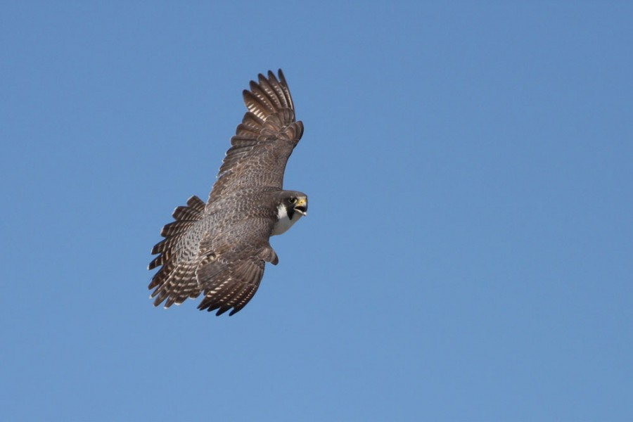 Peregrine Falcons are the primary predator for adult shorebirds on the island, though we have observed Parasitic Jaegers successfully hunting shorebirds as well.