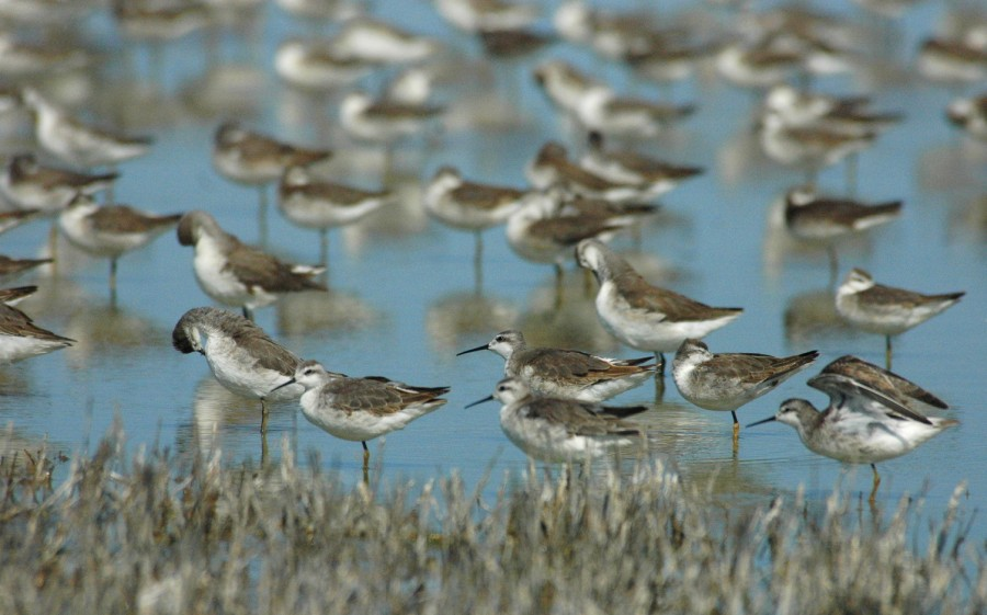 A group of Wilson's phalaropes in a small wetland in southern Santa Fe province, Argentina. ©Marcelo Romano