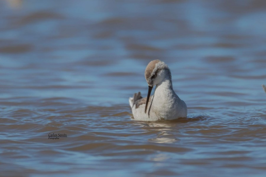One of the thousands phalaropes that were swimming and feeding at Epecuen Lake, in Buenos Aires Province. ©Carlos Servín