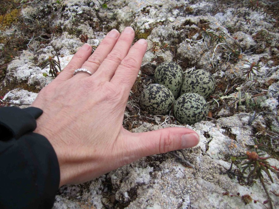 This Black-bellied Plover nest is situated on bare ground, but it is perfectly camouflaged; Metta's hand gives perspective on the size of the eggs, which are unusually large compared to most smaller shorebirds. Photos by Metta McGarvey