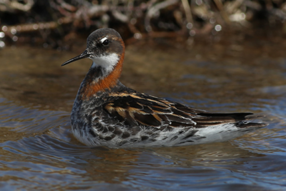 Male Red-necked Phalarope do all of the incubating and chick rearing while the females either repair or start heading south after the clutch of four eggs is laid. Photo by Brad Winn
