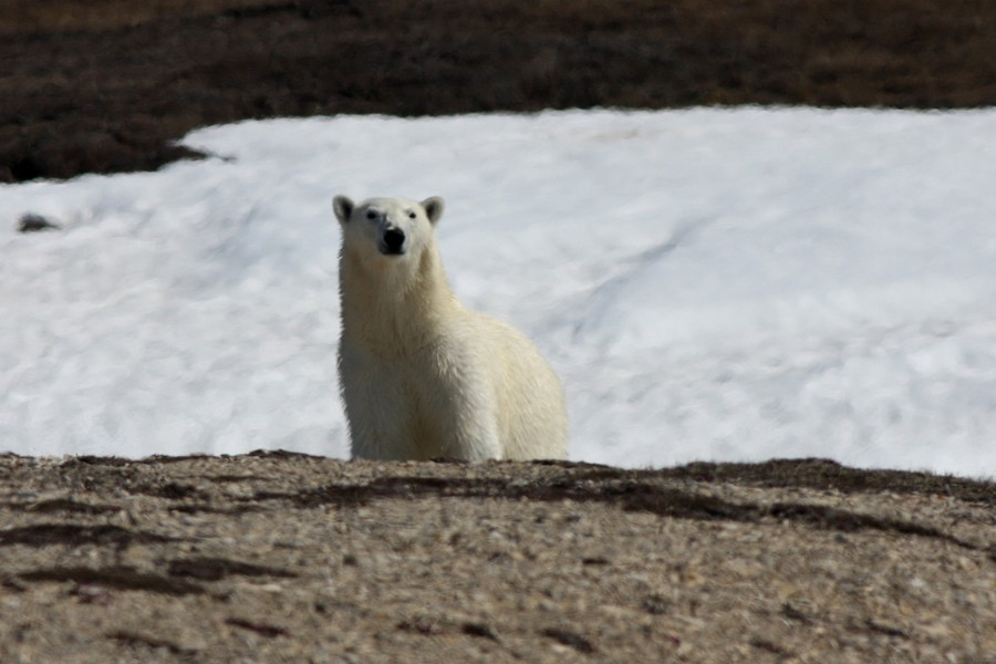 This Polar Bear was very interested in our camp. Seconds after this photo was taken we scared the bear off with a few cracker shells (loud firecrackers fired into the air from a shotgun). The bear continued on toward the remaining sea ice on the North end of the island.