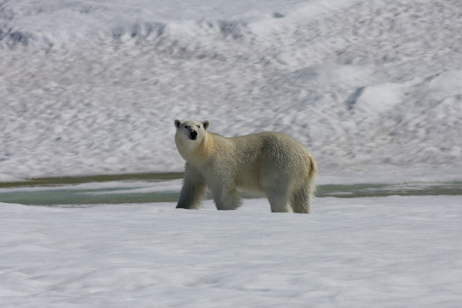 A Polar Bear following the river across the island notices our camp.