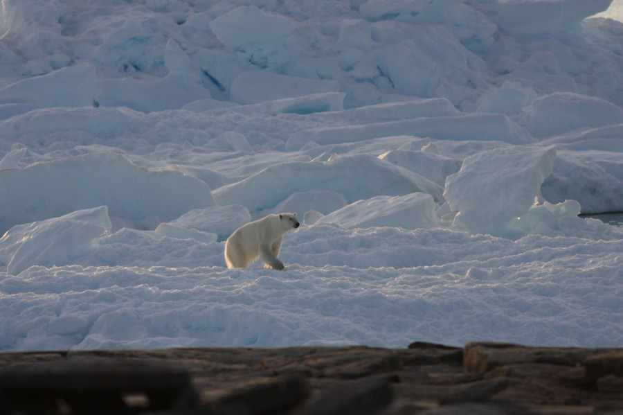 A female Polar Bear crosses an ice floe driven up against the shore.