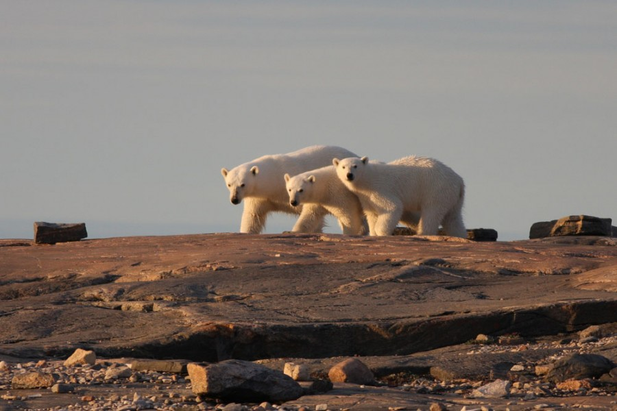 A mother Polar Bear and her yearling cubs travel the shoreline of Coats Island looking for food and safety. In addition to hunting for herself and her cubs, the mother also has to constantly avoid large male bears that could injure or kill her young.