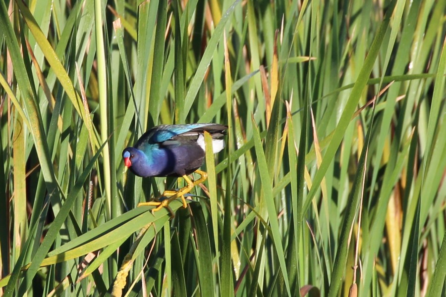 A Purple Gallinule (Porphyrio martinicus )surfs a cattail at Laguna Cartagena (Monica Iglecia)