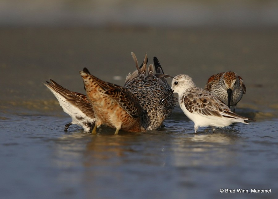 An underwater feast: a Red Knot, a Short-billed Dowitcher, and a Dunlin go deep to find a cluster of horseshoe crab eggs underwater.