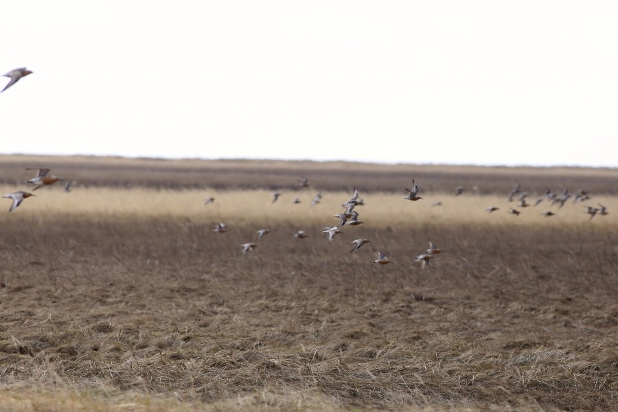 It is a common sight to see flocks of transient shorebirds headed farther north on the delta breeding grounds in mid-May. On a survey near the coast, I spotted a large flock of Red Knots moving fast across the tundra. Throughout the survey season, we also saw large numbers of migrant Long-billed Dowitchers and Pectoral Sandpipers.