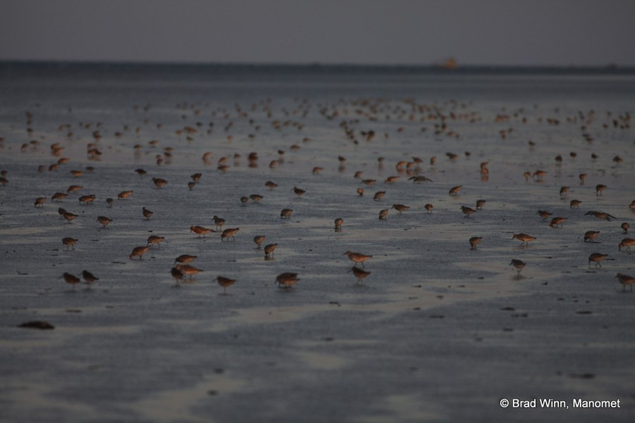 Red Knots and Short-Billed Dowitchers