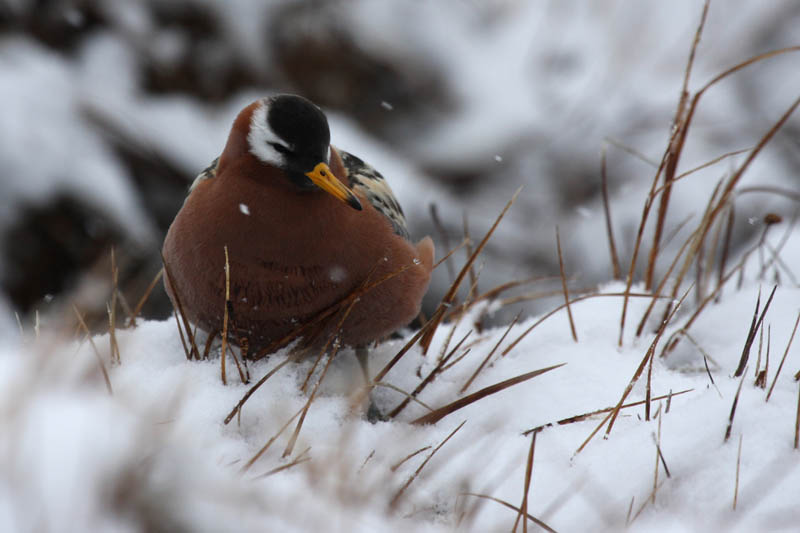 A female Red Phalarope stoically waits out a late snowstorm.