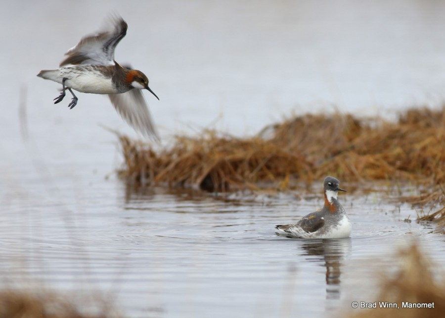 A Red-necked Phalarope male makes a delicate fluttering but failing attempt to copulate with a very grumpy mate.  These diminutive shorebirds spend the majority of the year out in the Pacific Ocean, floating on the high seas eating tiny marine life brought to the surface in upwelling currents.