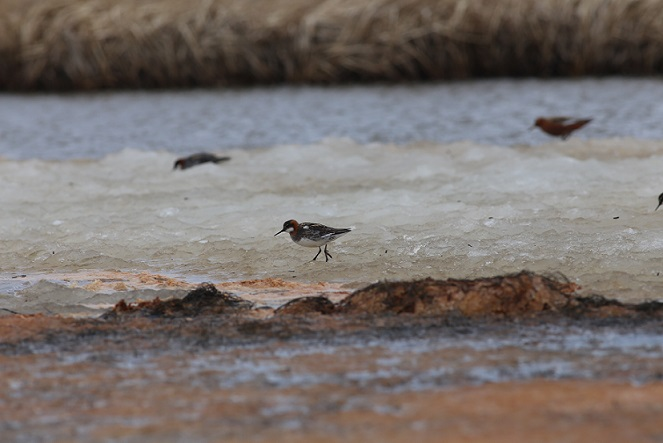 We have seen several species of shorebirds eating windblown insects off the ice, like these Red and Red-necked Phalaropes.  Photo by Brad Winn.