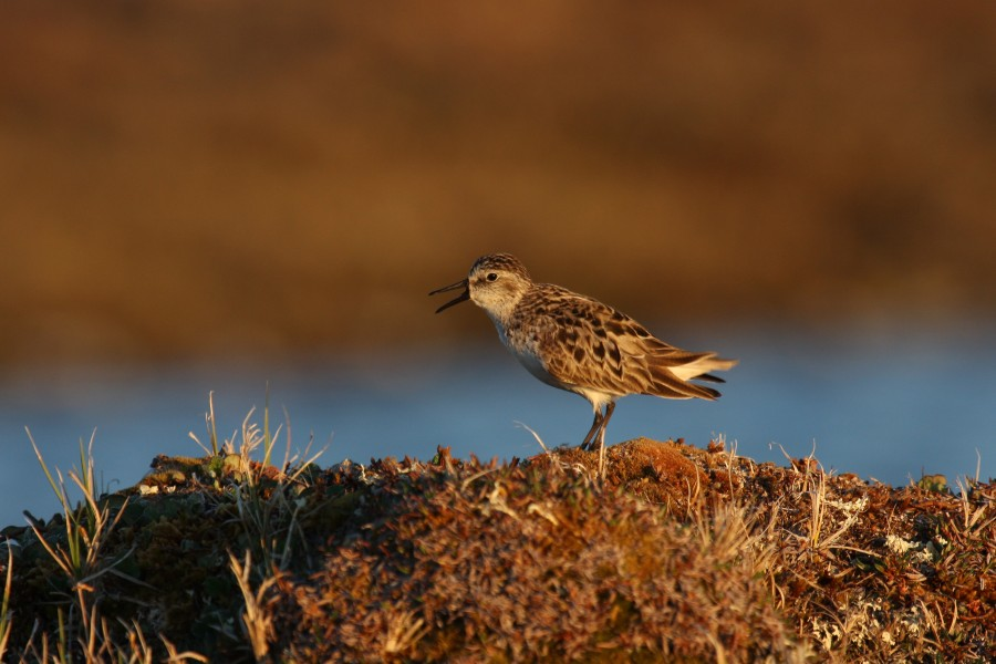 Semipalmated Sandpiper displaying on a tundra mound. The warm low-angle light is one of the benefits of Arctic work.