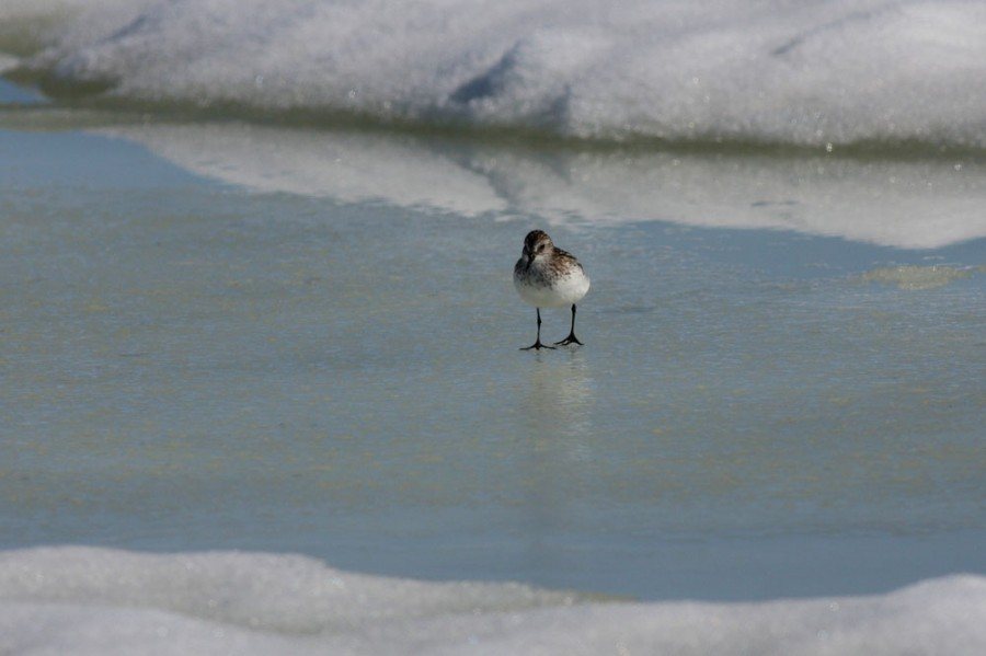 The late snow and cold mornings create a difficult environment for early arriving shorebirds. This Semipalmated Sandpiper searches for food in the frozen landscape.