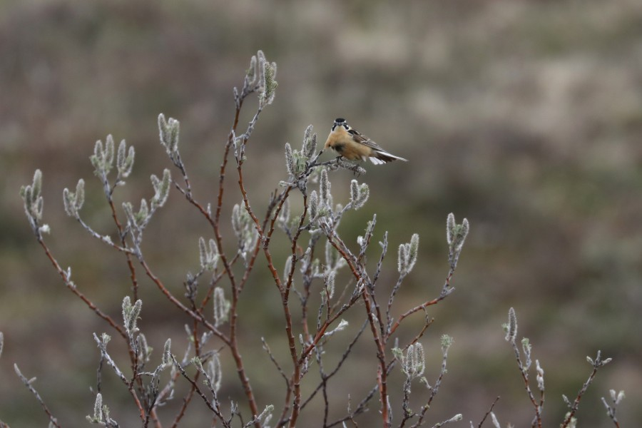 A male Smith's Longspur balances on a willow shrub on a windy day