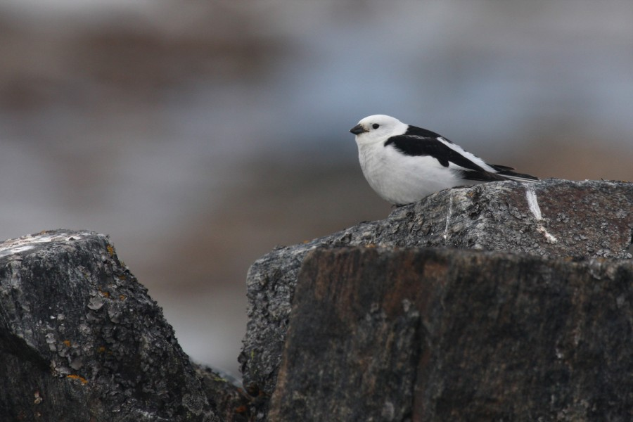 Snow Buntings are rare in camp, but abundant a few miles away in the rocky uplands