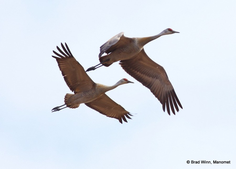 Sandhill Crane forage daily in the wetlands along Boot Lake, and make a rasping squawk of a call while flying over at all hours of the day. Photo by Brad Winn.