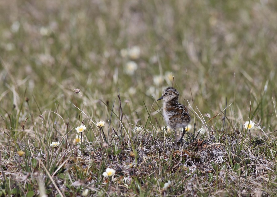 By the beginning of July, shorebird chicks begin to materialize on the tundra. The precocial chicks are capable of foraging on their own merely hours after hatching. This fledgling Semipalmated Sandpiper chick was one of four being supervised by their parents.