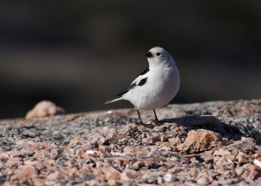 Snow Buntings nest along the coast and in the rocky uplands. They are a rare visitor to our camp in the low wet tundra.