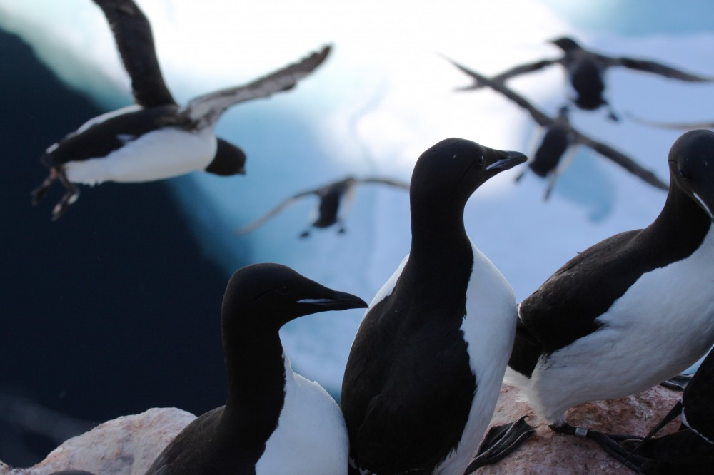 A colony of thousands of Thick-billed Murres nest on narrow ledges high above the ice of the Hudson Bay.