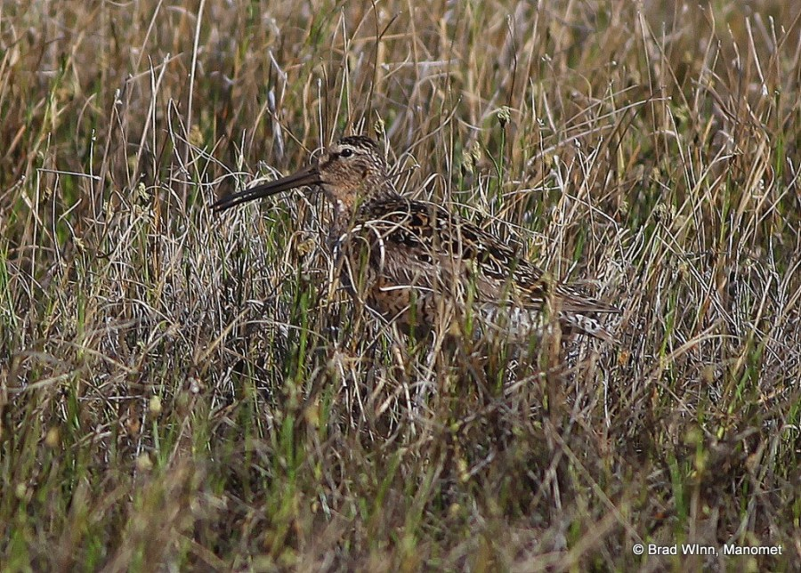 "This Short-billed Dowitcher uses its superb camouflage to hide, but calls to alert all in hearing range that ""this turf is taken."" We found the Short-billed variety mostly in pairs, exhibiting high flying flight displays on interior plots well away from the coast."