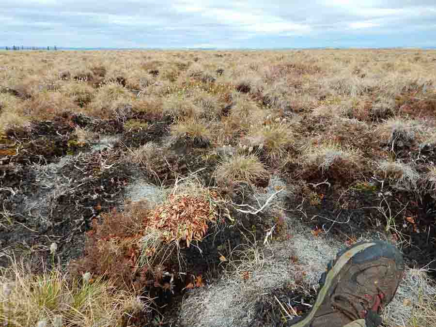The tundra can be difficult going! These tussocks seem designed to make walking difficult. They are hard to step on without falling off, and hard to walk between without turning your ankle