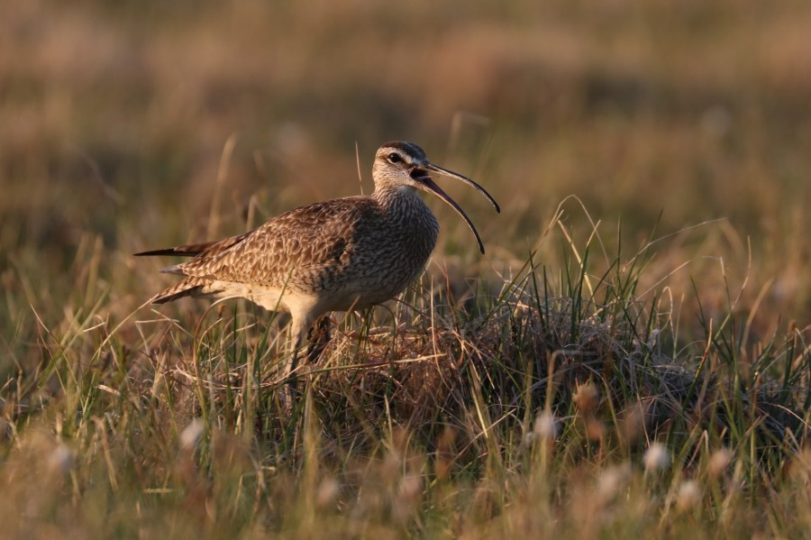 Both male and female Whimbrel share nesting and chick rearing responsibilities. Neighboring Whimbrel will team up to chase off predators like jaegers and falcons.