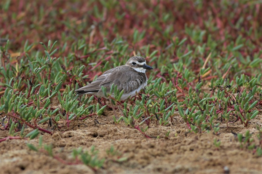 A Wilson's Plover (Charadrius wilsonia) keeps an eye on approaching onlookers at Combate Beach (Brad Winn)