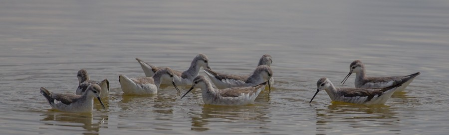 Foraging Wilson's Phalaropes at Lago Poopo. ©G. Donaldson.